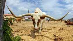 Picture shows a Longhorn at Fort Worth, Texas