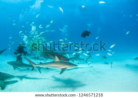 Picture shows a Nurse shark and caribbean reef sharks at the Bahamas
