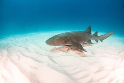 Picture shows a Nurse shark at the Bahamas