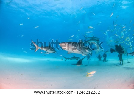 Picture shows a Tiger shark and caribbean reef sharks at Tigerbeach, Bahamas