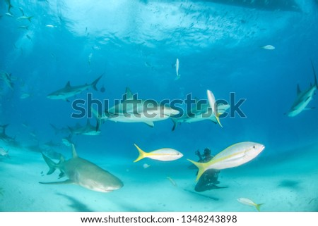Picture shows Caribbean reef sharks and lemon sharks at the Bahamas