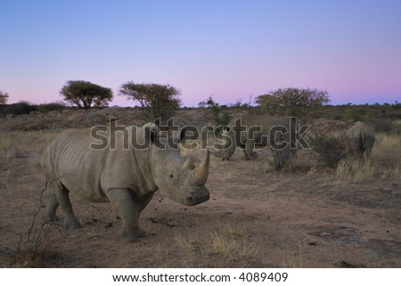 Picture white rhinoceros taken in Namibia, Africa.