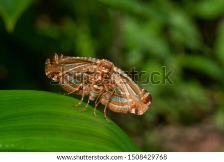 Picture-winged Leaf Moth Thyrididae Moth seen at Thane,Maharashtra,India,Asia