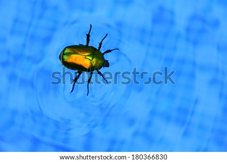 Picture with cockchafer floating in swimming pool