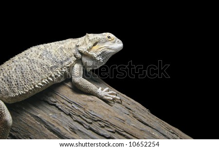 Pictured here is an adult Bearded Dragon.