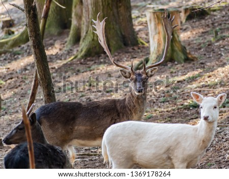 Pictured is Fallow Deer European and Fallow Deer white.