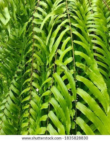 Pictured Macho Fern, a giant sword fern. Foto d'archivio ©