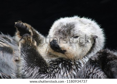 Pictures of a small Sea Otter from the Lisbon Oceanarium