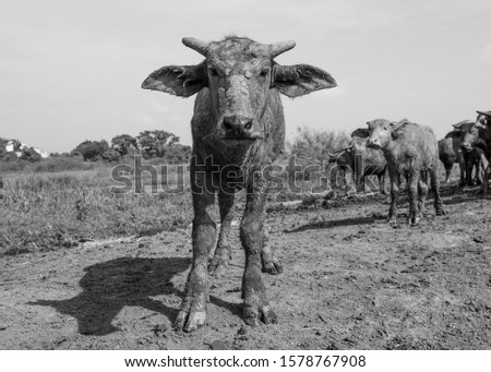 Pictures of buffalo