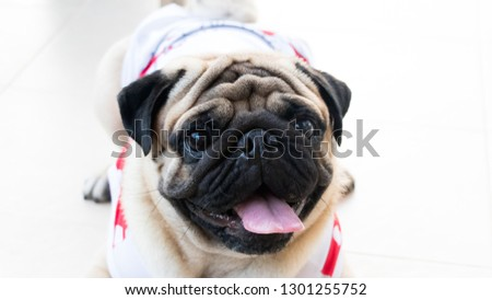 Pictures of cute pug dogs