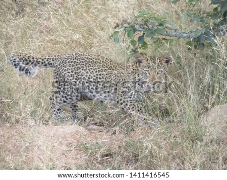 Pictures of leopards from a game drive in Africa