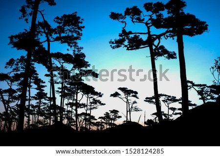 Pictures of pine trees in the rain forest in the morning sun resulting in pictures of pine trees in black.