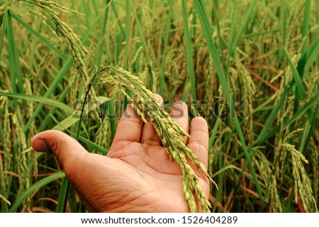Pictures of rice fields in the evening fields