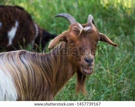 Pictures of some goats with their horns.