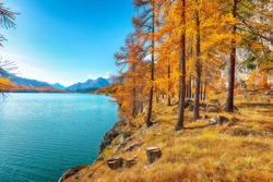 Picturesque autumn scene in Swiss Alps and views of Sils Lake (Silsersee). Colorful autumn scene of Swiss Alps. Location: Maloya, Engadine region, Grisons canton, Switzerland, Europe.
