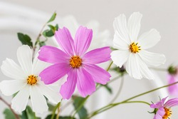 Picturesque cosmos flowers. Natural floral background, , wallpaper, postcard