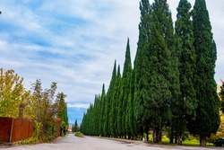 Picturesque cypress avenue. Alley of tall green trees standing along the road