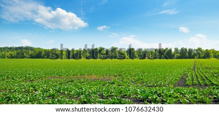 Picturesque green beet field and blue sky with light clouds. Agricultural landscape. Wide photo.