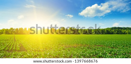 Picturesque green beet field and sun on blue sky. Agricultural landscape. Wide photo. #1397668676