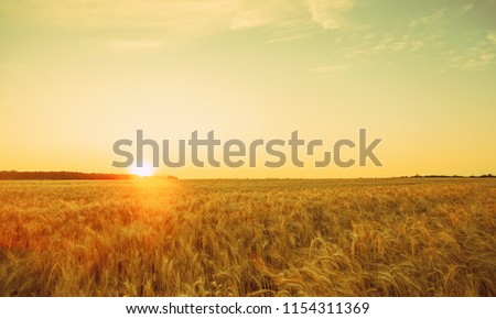 Picturesque mature, golden-brown field, yellow wheat at sunset. Grain harvest in summer. #1154311369