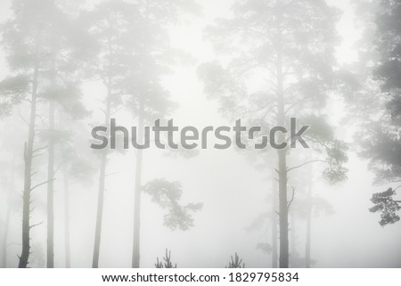 Photo of  Picturesque monochrome scenery of the evergreen forest in a thick white fog at sunrise. Pine and fir trees close-up. Atmospheric autumn landscape. Fall season, ecology, environment, deforestation