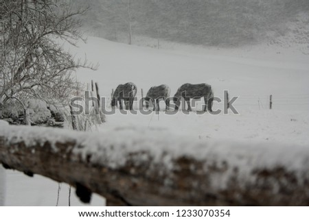 picturesque picture of horses grazing in a snowy windy blizzard in the alpine mountains