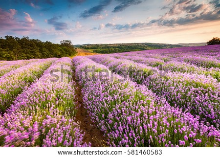 Picturesque rows of lavender valley