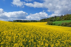 Picturesque spring landscape with yellow flowering field of rapeseed in front of a forest