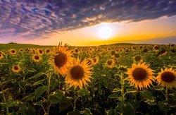 picturesque summer lanscape, sunset rural image, blossom yellow sunflowers on the field at evening sundown sunlight, breathtaking nature floral scenery, location Provence, France, Europe