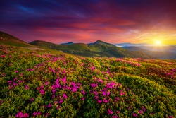 Picturesque summer sunset with rhododendron flowers. Location place Carpathian mountains, Ukraine, Europe. Vibrant photo wallpaper. Image of gorgeous pink flowers. Discover the beauty of earth.