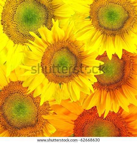 Picturesque sunflower background - stock photo