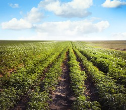 Picturesque view of blooming potato field against blue sky with fluffy clouds on sunny day. Organic farming