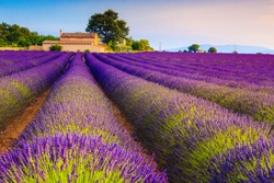 Picturesque violet lavender rows and houses in the lavender plantation, near Valensole village, Provence region, France, Europe