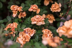 picturesque wilting bush of a wild beige rose in autumn with green leaves