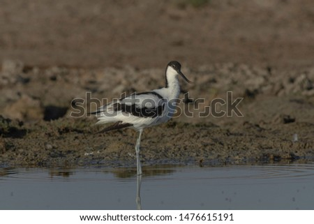 Pied avocet (Recurvirostra avosetta). They have long, upturned bills and long, bluish legs.The pied avocet is a striking white wader with bold black markings.