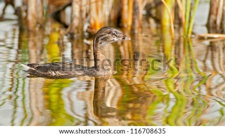 Ducks of the Americas