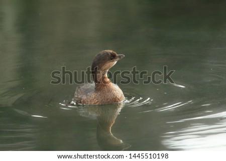 Pied-billed Grebe (podilymbus podiceps) swimming