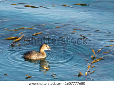 Pied Billed Grebe swimming in calm water eating. The pied-billed grebe is primarily found in ponds throughout the Americas