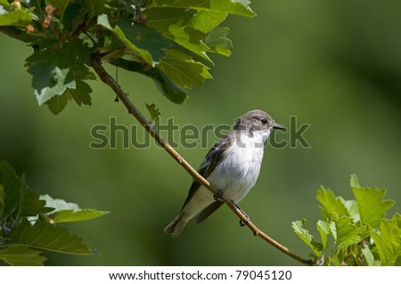 pied flycatcher, female