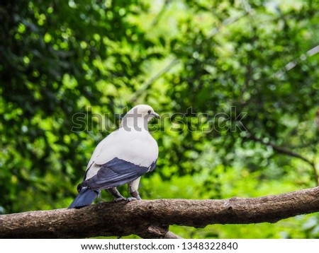 Pied Imperial Pigeon bird dove on branch tree in nature green background / Columbidae bird - Ducula bicolor  #1348322840