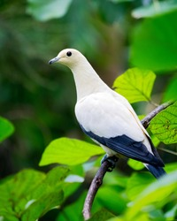 Pied imperial pigeon - Ducula bicolor