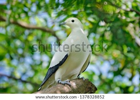 Pied imperial pigeon, Ducula bicolor, beautifull big white bird from Thailand. Pigeon in the habitat, sunny day in the green forest. Wildlife scene from nature.  Bird sitting on the tree trunk. #1378328852