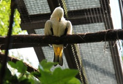 pied imperial pigeon (Ducula bicolor) living in captivity cleaning its featers