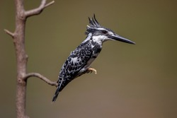 Pied Kingfisher, a beautiful black and white bird perched on a branch. Look for fish swimming in the river.