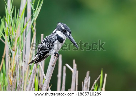 Photo of  Pied kingfisher (Ceryle rudis) sitting in Kruger National Park in South Africa