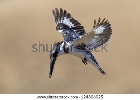 Pied Kingfisher hovering above a small pond in the Kruger Park. (Ceryle rudis)