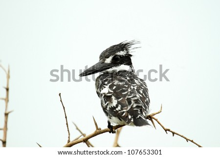 Pied Kingfisher isolated on white background on natural perch