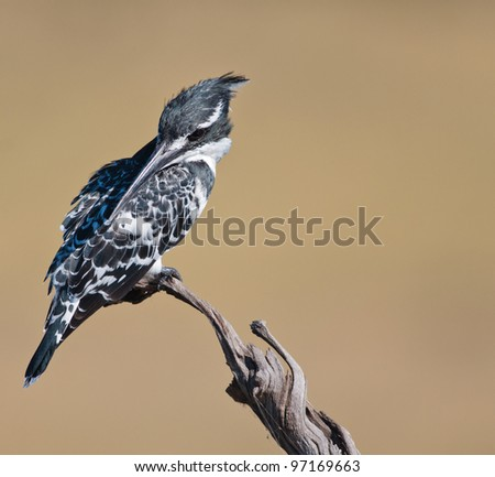 Pied Kingfisher with smooth light brown background looking left