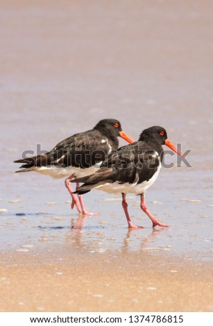 pied oyster catchers #1374786815