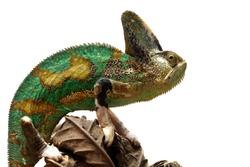 Pied veiled chameleon on branch, Pied veiled chameleon closeup, animal closeup